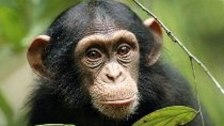 Shimpanzet mund të gjykojnë drejtë