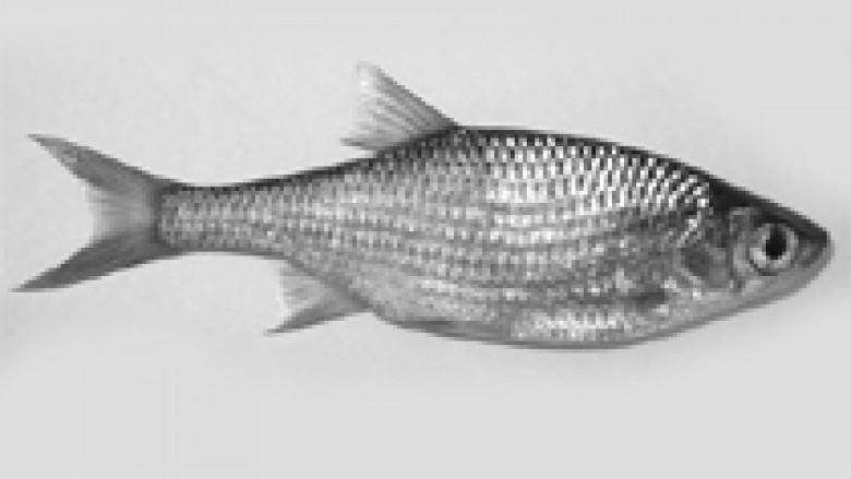 Peshku i Tajlandës kontrollohet me detaje
