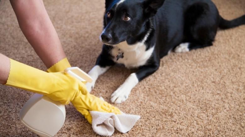 Si ta eliminoni erën e keqe të qenit nga shtëpia?