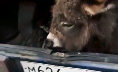 Futi gomarin në veturë sepse nuk e lejuan ta transportonte me autobus (Video)