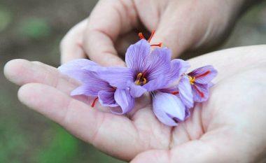 Mijëra dollarë për një kilogramë: Bima që mund ta shpëtojë Shqipërinë nga kanabisi!