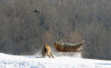 Tigrat siberianë e ndjekin dhe e kapin dronin që po i filmonte (Video)