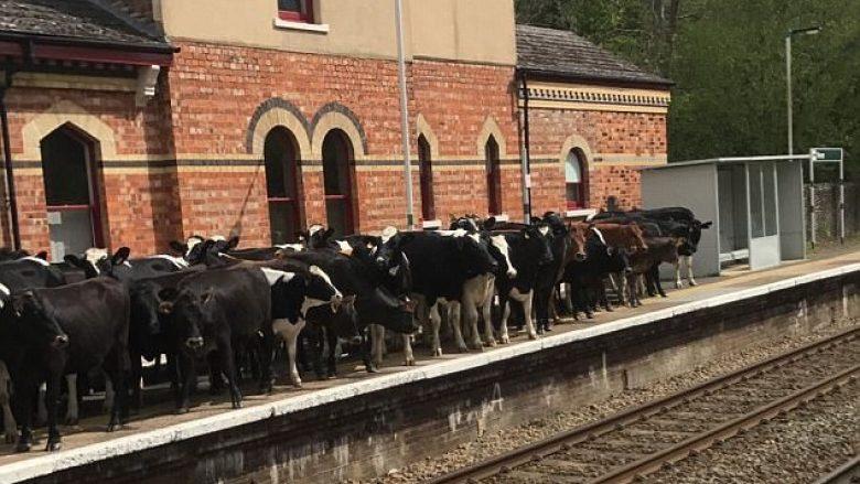 Lopët pushtojnë stacionin e trenit, anulohen udhëtimet e planifikuara (Foto)