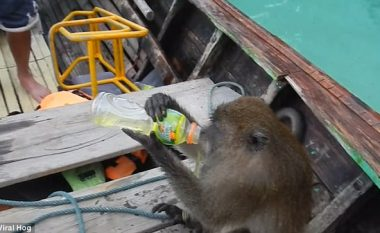 Majmuni kërceu në barkë për të grabitur vodkë nga turistët (Video)