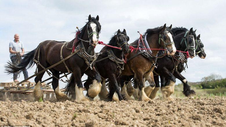 Në vend të makinerive moderne, tokën prej 400 hektarëve e lëron me ndihmën e kuajve (Foto)