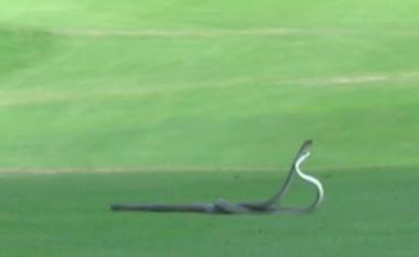 Betejë e ashpër mes gjarpërinjve më vdekjeprurës në botë (Video)
