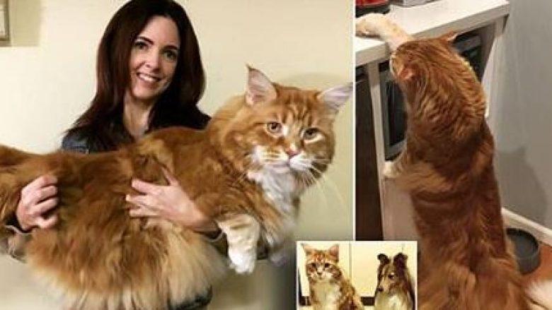 Pronarja e maces 14 kilogramëshe, kontaktohet për rekord Guiness (Foto)