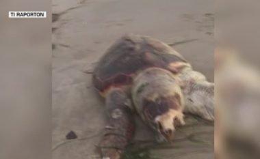 Breshka gjigante në brigjet e Golemit (Foto)