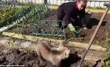 Ariu imiton kopshtaren në lërimin e tokës (Video)
