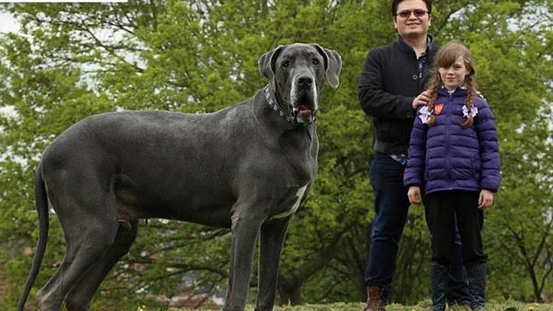 Qeni që peshon sa një elefant!