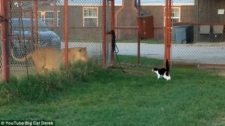 Luani i frikësuar nga një mace e vogël (Video)