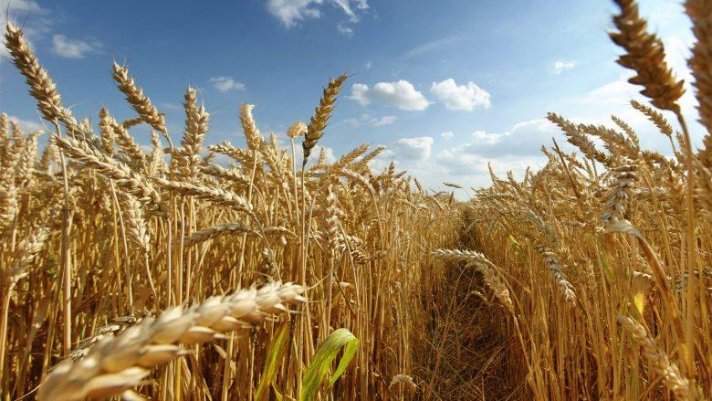 Çmimi i ulët zvogëlon interesimin e bujqve të mbjellin grurë