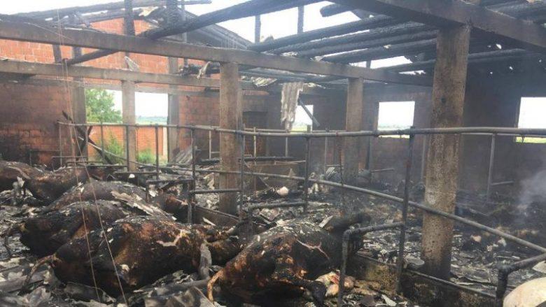 Pamje të rënda: Digjet ferma me 28 krerë lopë brenda (Foto)