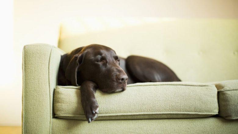 Sa gjatë guxoni ta linin qenin vetëm në shtëpi?