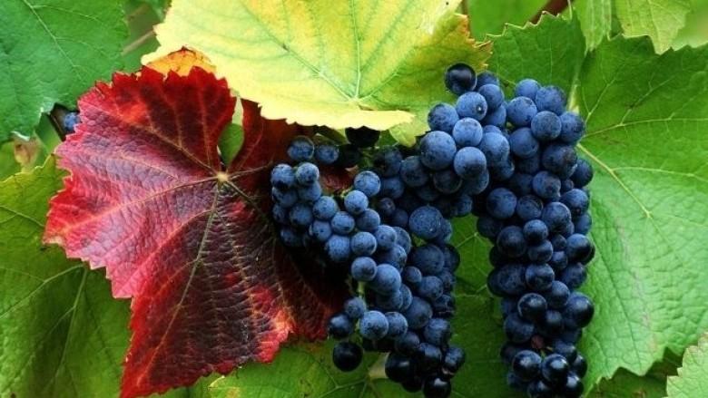 Sivjet në Kosovë ka më pak rrush, por më cilësor (Video)