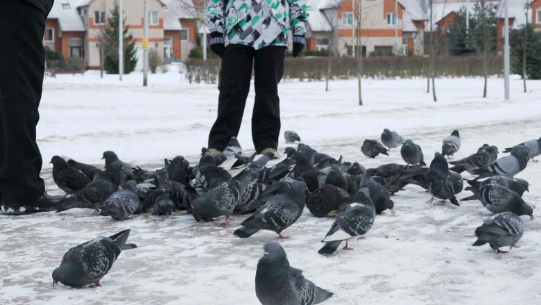 Për atë që disa njerëz bëjnë shkollë me vite të tëra, pëllumbat e mësojnë për 14 ditë!