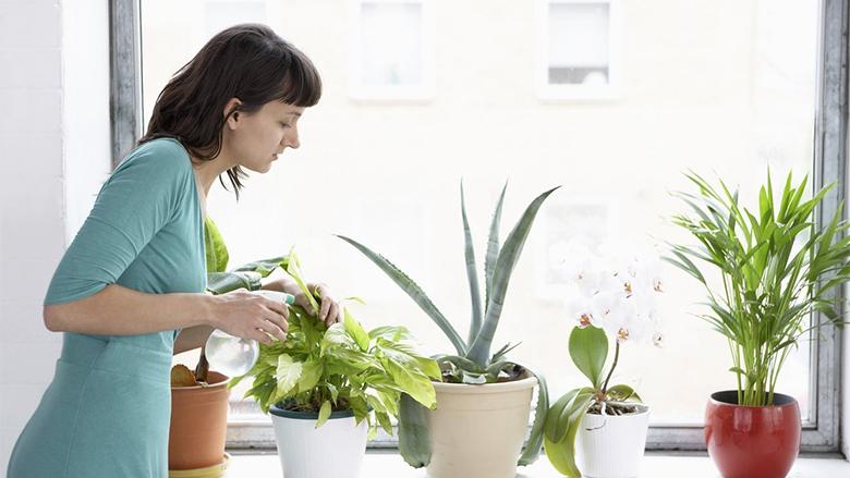 Ujitja dhe ushqimi i bimëve të dhomës