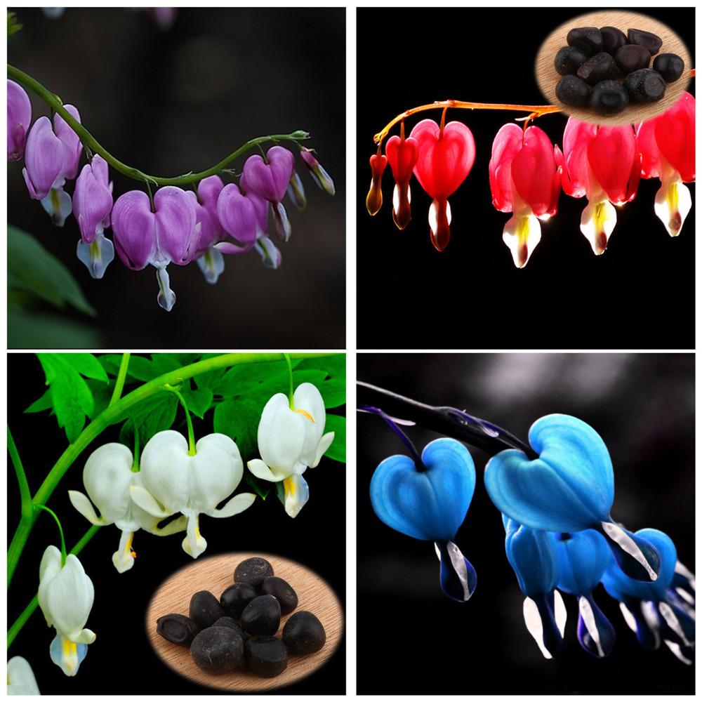 10-PCS-Pack-Perennial-Herbs-Dicentra-Garden-Home-font-b-Plant-b-font-font-b-Bleeding