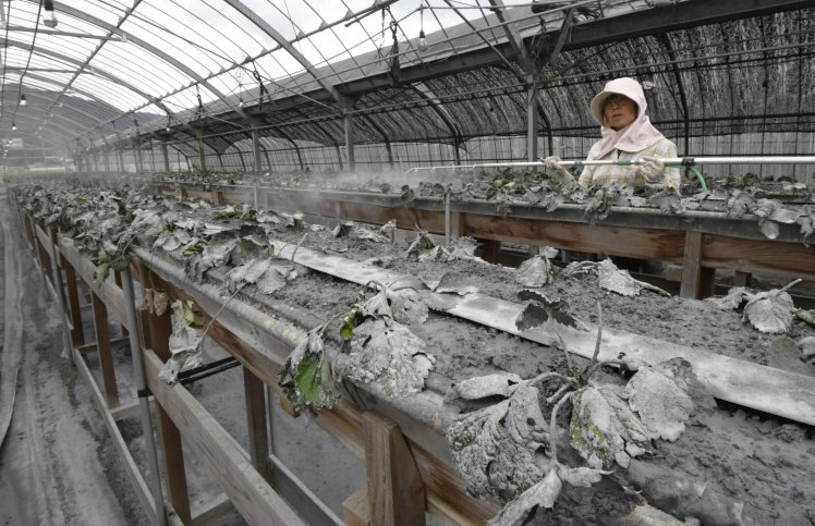A strawberry farmer cleans volcanic ash by spraying water on the crops in Aso, Kumamoto prefecture, southern Japan, following an eruption of Mount Aso Saturday, Oct. 8, 2016. Mount Aso has sent huge plumes of gray smoke as high as 11 kilometers (6.8 miles) into the air in one of the volcano's biggest explosions in years. (Sadayuki Goto/Kyodo News via AP)