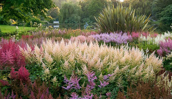 Astilbe beds at Marwood Hill Garden, July 2006.