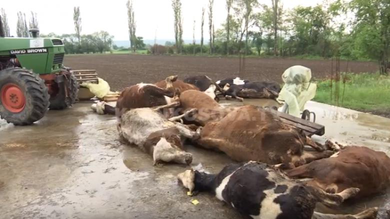 Fermerit në Prizren i ngordhin 12 lopë (Video)