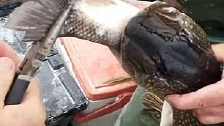 Brenda peshkut gjetën një tjetër me madhësi gati të njëjtë (Video)