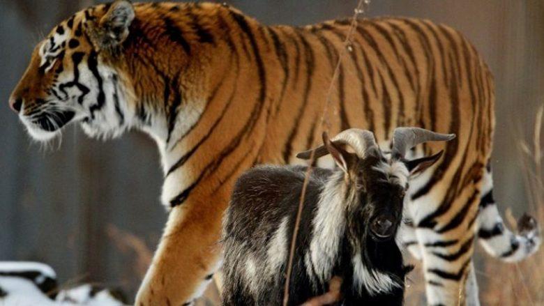 Ia kanë hedhur dhinë në kafaz tigrit për ta ngrënë: Askush nuk mund të besojë se çfarë ka ndodhur! (Video)