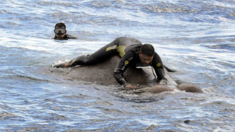 Shpëtohet elefanti që kishte hyrë në det, afro 17 kilometra larg bregut (Video)