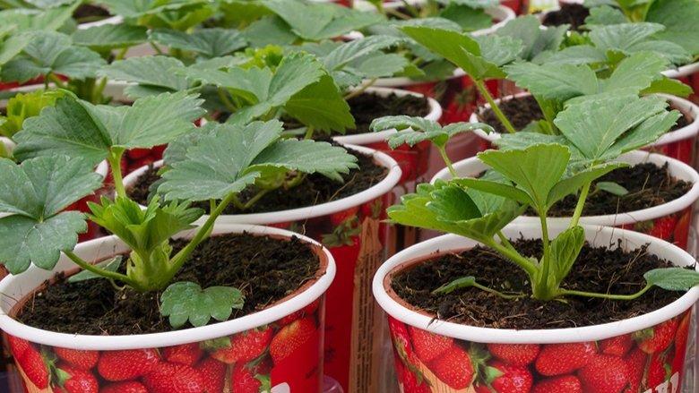 Nuk investoni asnjë qindarkë, ndërkaq keni pemë dhe perime pa pesticide: Kultivimi në gota është hit absolut (Video)