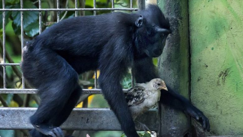 """Four-year-old Macaque Niv walks with a few weeks-old chick at the Ramat Gan Safari near Tel Aviv, Israel, Thursday, Aug. 24, 2017. Niv """"adopted"""" the chicken as it wondered into their enclosure. Zoo officials say the unlikely pair have become inseparable. (AP Photo/Tsafrir Abayov)"""