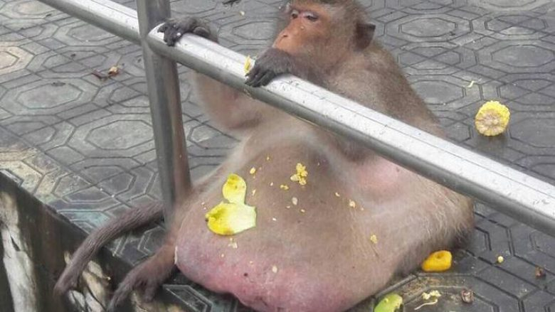 Me ushqime të këqija, turistët e bënë majmunin bullafiq! (Foto)