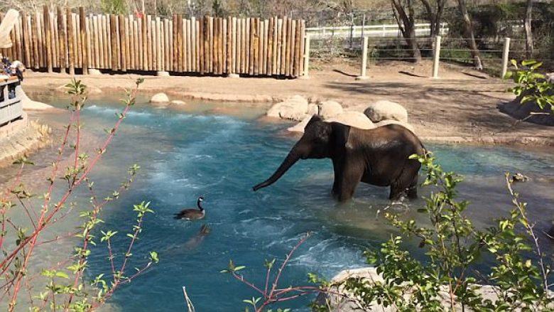 Përleshja e pazakontë mes elefantit dhe patës së zemëruar (Video)
