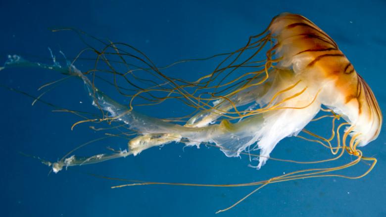 Çfarë duhet të bëni nëse ju djeg meduza