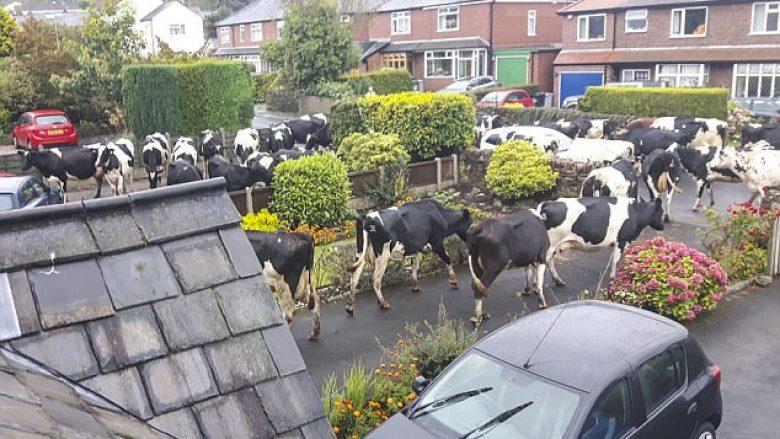 Oborri i mbushet papritmas me 40 lopë (Foto)