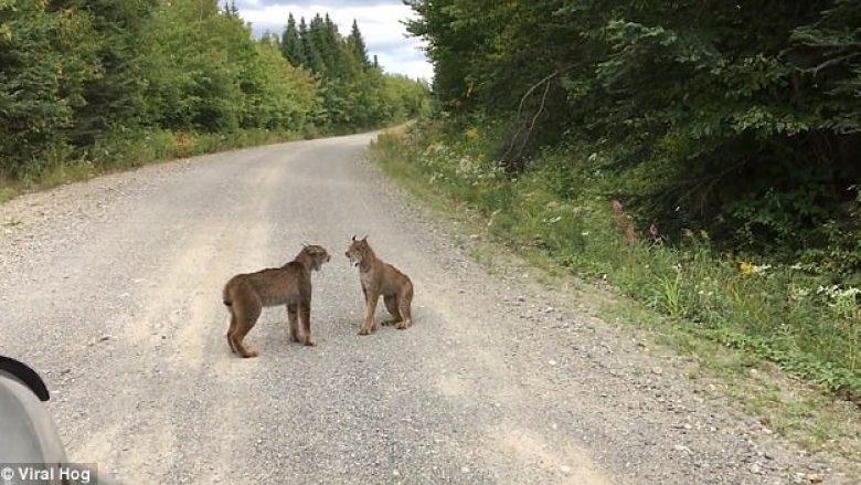 Vështirë të shihet një, turisti pati fatin t'i shohë dy rrëqebull që përlesheshin në rrugë (Video)