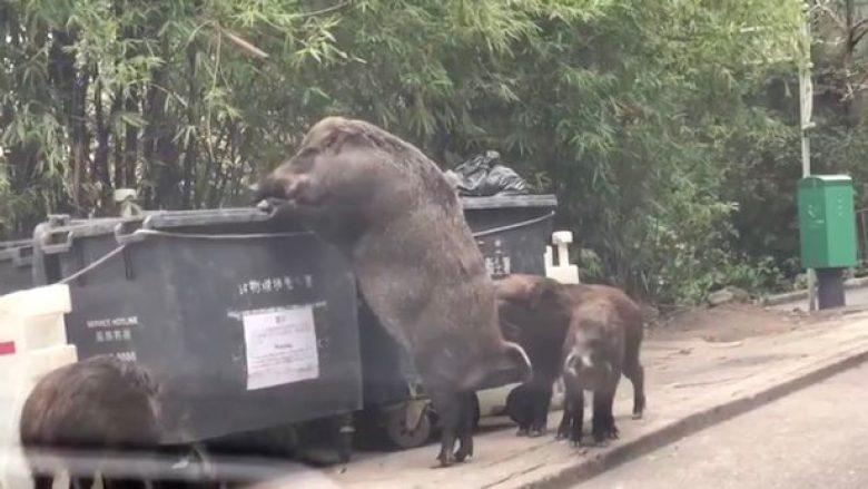 Derri i egër me përmasa gjigante, kërkon në kontejnerin pranë një shkolle fillore (Video)
