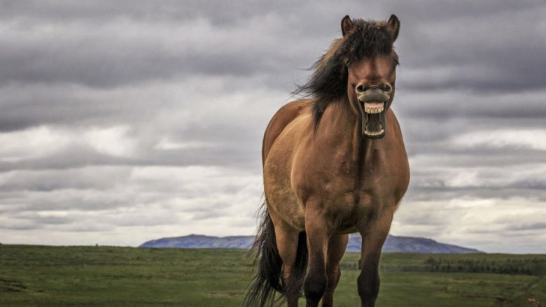 Is this the happiest horse in the world?  A beautiful brown stallion looks like it is laughing at a photographer as it stands and stares at him in a field.  Bragi Ingibergsson was stunned when the horse then stuck its tongue out at him as he pressed the shutter on the camera.  Bragi had spotted four horses at the side of a road and stopped to take pictures of them.  As he turned away from the group, he spotted a fifth horse which looked as if it was laughing at him while he took his photographs in Blaskogabyggd, Iceland.  SEE OUR COPY FOR DETAILS.  Please byline: Bragi Ingibergsson/Solent News  © Bragi Ingibergsson/Solent News & Photo Agency UK +44 (0) 2380 458800