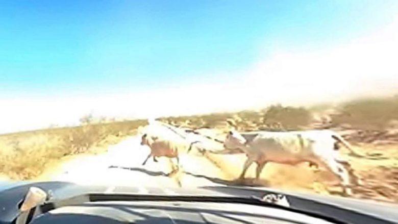 Moment tmerri në garat me vetura, John Tondro godet lopën teksa voziste makinën me shpejtësi prej 180 kilometra në orë (Video)