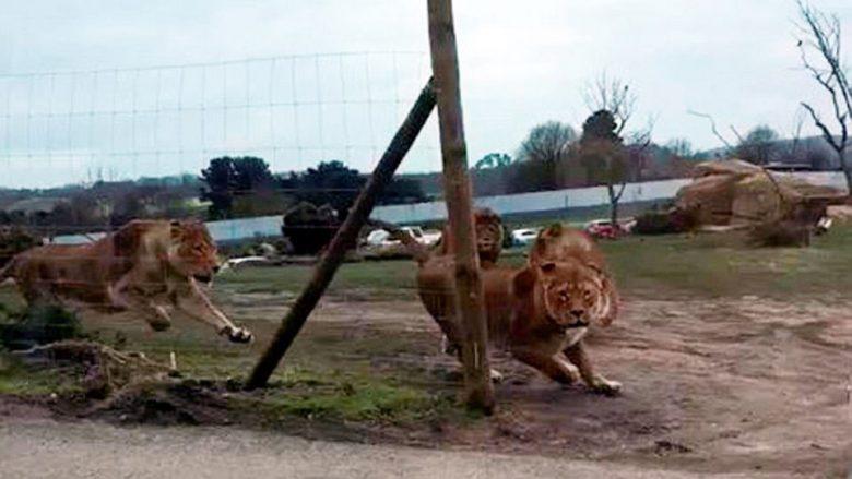 Çifti me dy fëmijë gjendeshin brenda, momenti i frikshëm kur vetura sulmohet nga një grup luanësh (Video)