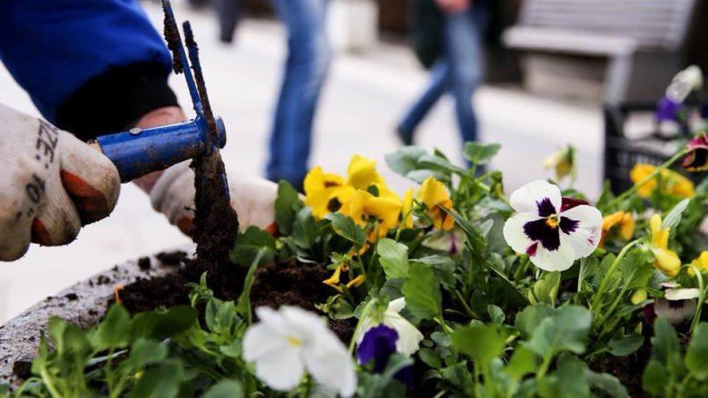 Nis mbjellja e 450 mijë luleve në Prishtinë (Foto)