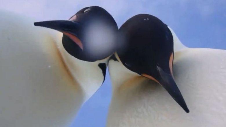 Pinguinët kureshtarë bënë një 'selfie' të përkryer, me kamerën e rrotulluar (Video)