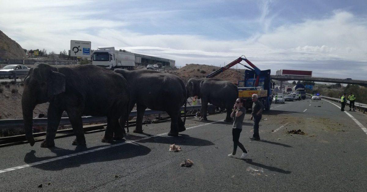 Arratisen pesë elefantë, bllokojnë autostradën në Spanjë (Video)