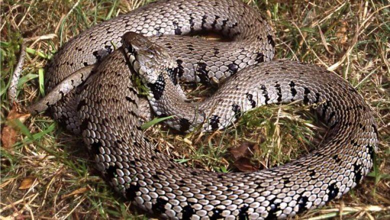 Përse mbanin ilirët gjarpër shtëpie? - Telegrafi