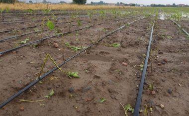 Shiu e breshëri dëmtojnë kulturat bujqësore në Podujevë