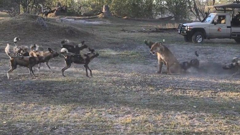 Luanesha u përlesh me turmën e qenve, për ta shpëtuar këlyshin e saj (Video)