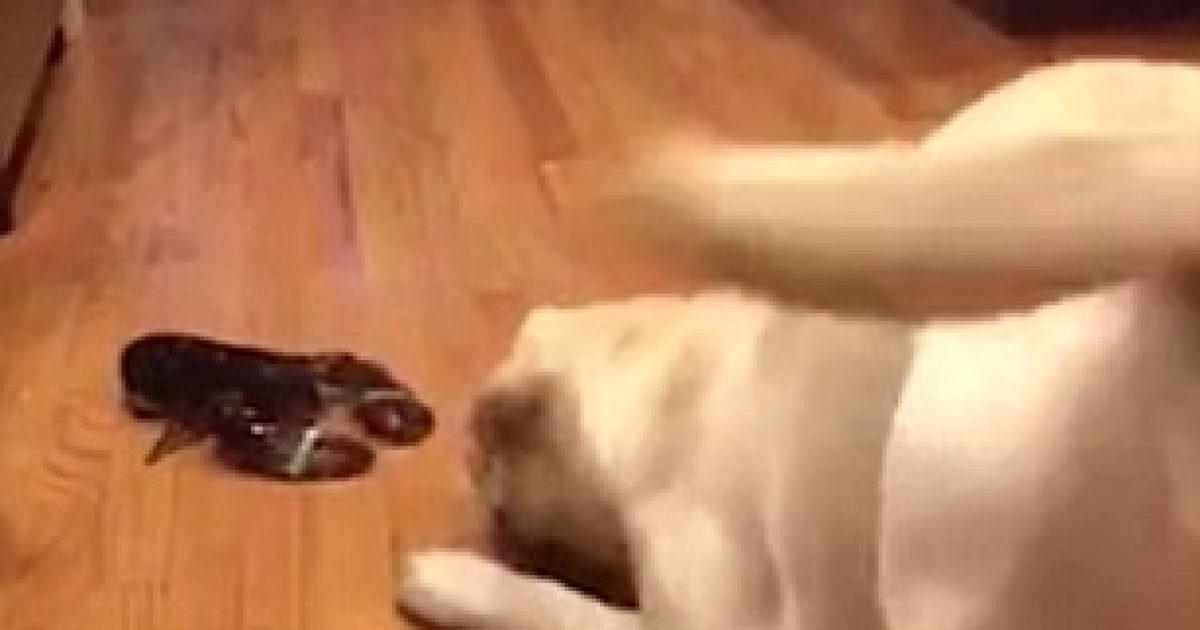 Takimi i parë me një gaforre, nuk ishte aspak i këndshëm për qenin (Video)