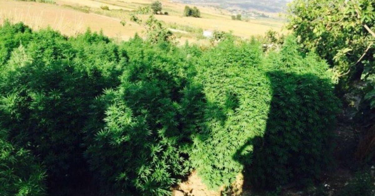 Helikopterët e policisë zbulojnë 20 parcela me hashash