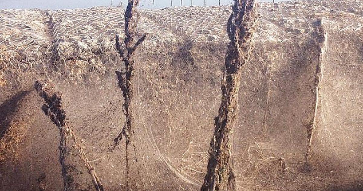 Rrjeti masiv i merimangave, ka mbuluar mëse një mijë metra të brigjeve të një liqeni në Greqi (Video)