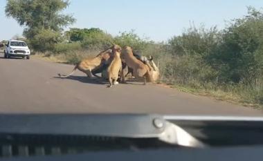 Beteja për jetë a vdekje, tufa e luaneshave rrëzojnë dhe mbysin buallin para syve të turistëve (Video, +18)