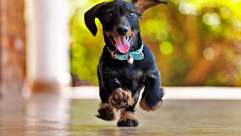Përse qentë dëshirojnë të vrapojnë nëpër shtëpi?